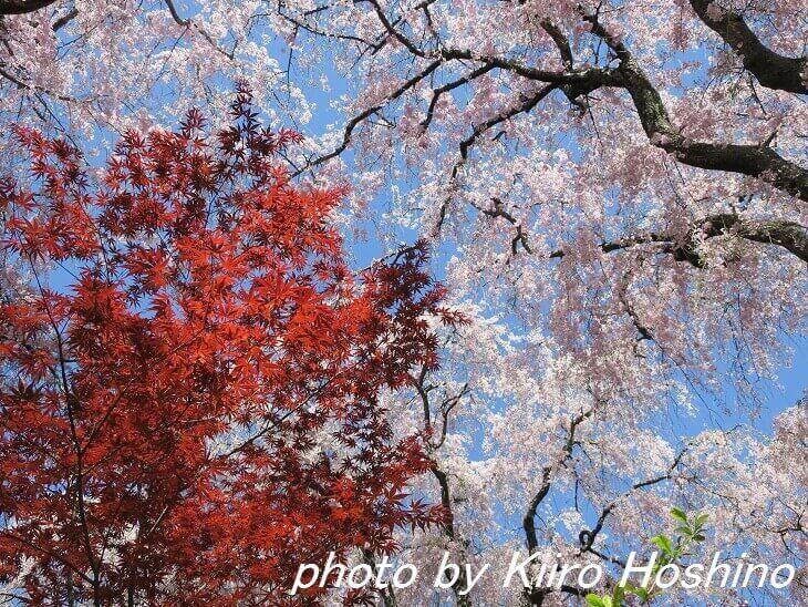 原谷苑、桜と紅葉(赤)