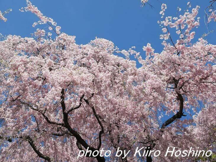原谷苑、桜と青空