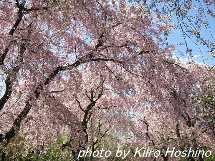 原谷苑、桜のカーテン