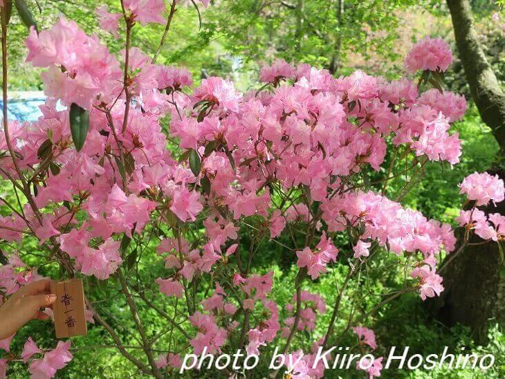 原谷苑、春一番