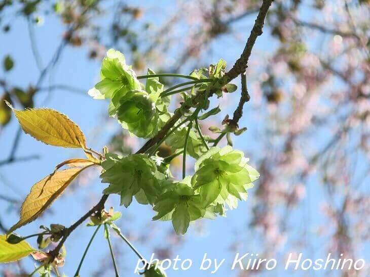 原谷苑、緑桜(御衣黄)